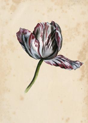Antique-Tulip-Study